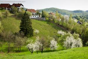 Trees blossoming in Spring near Volavlje in the Janče hills to the east of Ljubljana, Slovenia