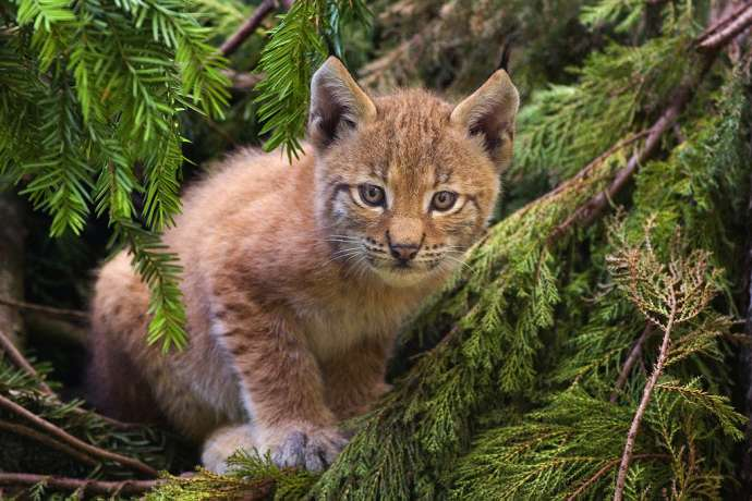 45 Yrs After the Lynx was Reintroduced to Slovenia, a New Animal Will Arrive Next Year (Videos)