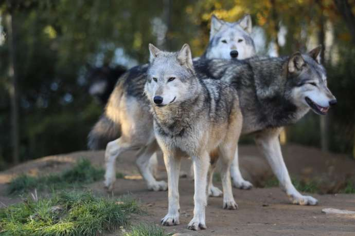 Emergency Culling of Wolves Agreed After Increase in Farm Attacks