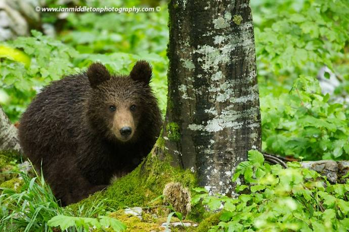 More Tourists Now Go Bear Watching in Slovenia