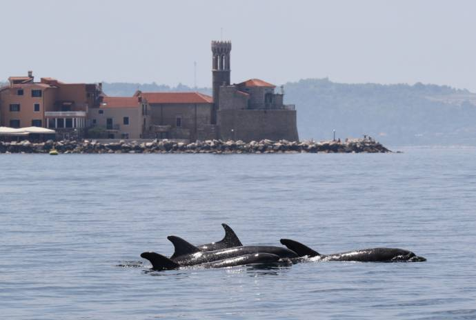 Morigenos: Monitoring Dolphins in the Gulf of Trieste