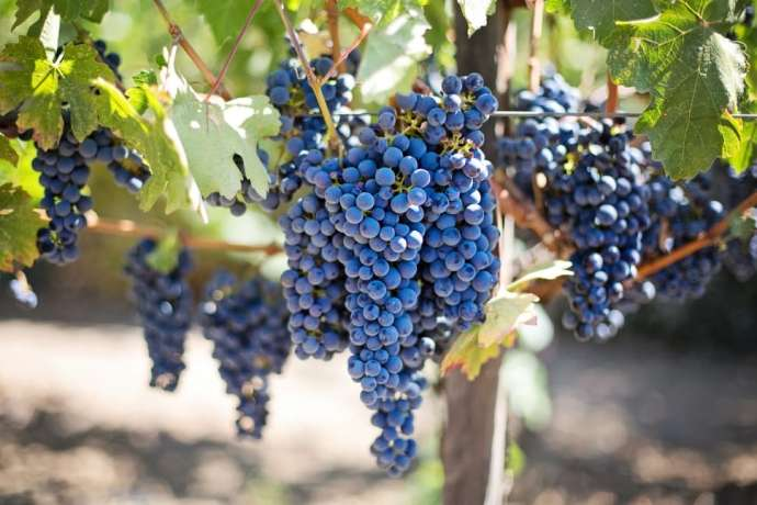 Winemakers Happy With Brda's Grape Harvest – Lower Numbers, But Higher Quality