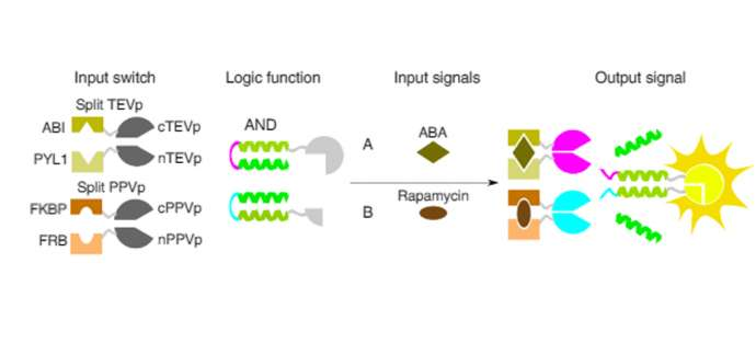 Schematic presentation of building blocks for inducible SPOC logic functions
