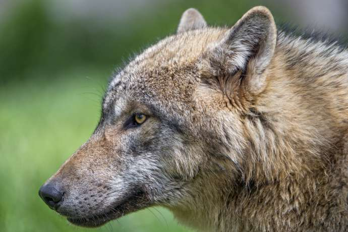 Slovenian Farmers, Scientists & Hunters Demand Bear, Wolf Cull as Tensions Rise Over Large Carnivores