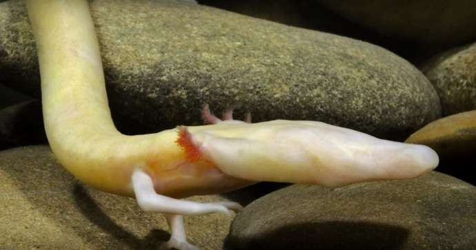 12 Things to Know about the Olm, Proteus, Human Fish & Baby Dragon