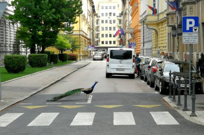 While photographed on Beethovnova ulica it's near the Parliament building this proud fellow makes his home, where his calls and fine display often shock and delight.