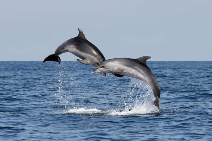 Two dolphins in Piran Bay